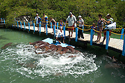 Nurse Shark show (Ginglymostoma cirratum) Oceanarium, San Martin de Pajarales island, Rosario islands, Cartagena de Indias, Colombia, South America.