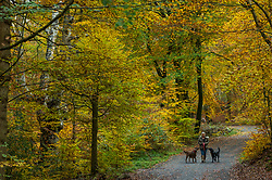 © Licensed to London News Pictures. 06/11/2019. BURNHAM, UK.  A woman walks her dogs during autumn in Burnham Beeches in Buckinghamshire.  The 220 hectare historic woodland is a National Nature Reserve and European Special Are of Conservation, famous for its ancient pollards, many of which are several hundred years old.  Now owned by the City of London, it has been preserved as a public open space popular with nature lovers and dog-walkers alike.  Photo credit: Stephen Chung/LNP