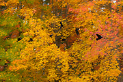 Seven American crows (Corvus brachyrhynchos), one carrying food that it scavenged, fly past maple trees displaying a variety of autumn colors in Kenmore, Washington.