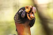 King Vulture (Sarcoramphus papa). LA Zoo, California