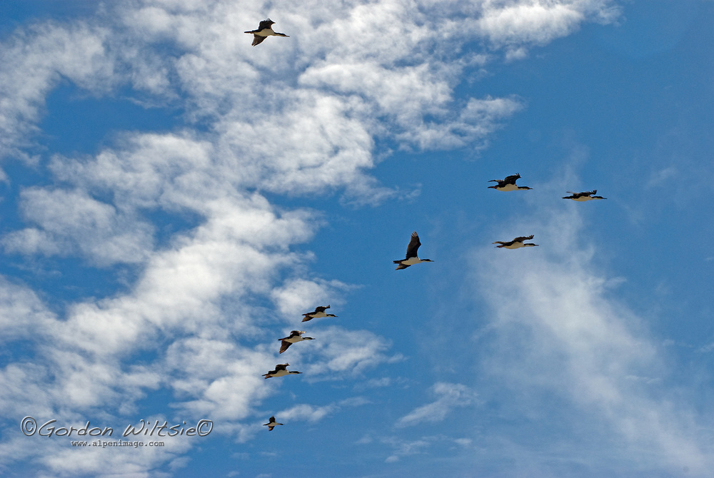Imperial Cormorants (also called shags) fly over a rookery on New Island in Britain's Falkland Islands. (These are also know as blue-eyed or king cormorants [or shags].)