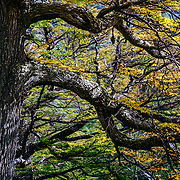 Fall colors of Southern beech along the banks of Lago Grey in Torres del Paine National Park, Patagonia, Chile.