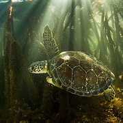 A green turtle (Chelonia mydas) with a missing front flipper swims through a mangrove creek in The Bahamas.