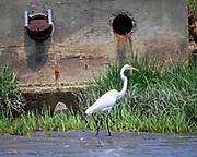Egret walking near the storm drain at low tide in Milton Harbor, New York.