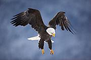 USA, Alaska, Chilkat Bald Eagle Preserve, Bald eagle (Haliaeetus leucocephalus) in flight