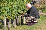 Harvest workers / wine tour participant, picking grapes. Chateau Paloumey, Haut Medoc, Bordeaux, France.