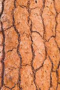 Detail of Ponderosa pine bark, Lassen Volcanic National Park, California
