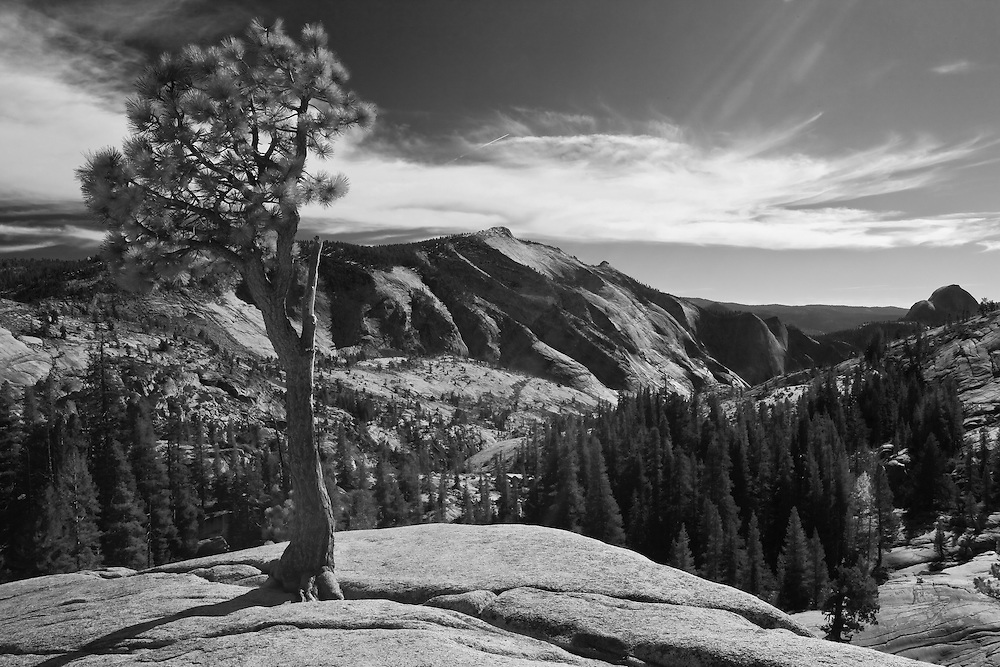 taken in yosemite national park on tioga road this is a lone pine growing out of a very high rock cropping.