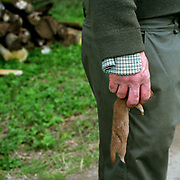 Jimmy Pilcher, gamekeeper holds a stoat caught in a trap at Newby Hall estate and gardens, Ripon, North Yorkshire, UK