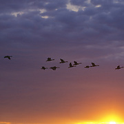 Canada geese (Branta canadensis) in flight in southern Manitoba. Canada