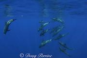 melon-headed whales, Peponocephala electra<br /> Northwest Providence Channel<br /> near Great Abaco Island<br /> Bahamas ( Western Atlantic Ocean )