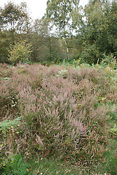 Bestwood Country Park, Nottingham, part of Sherwood Forest, an example of a conservation project - heather scrapes where the topsoil is removed and heather planted in order to produce heathland, a different habitat typical of the original forest. Removing the topsoil enables the heather to compete better against other plants species. This area was planted six years previously..