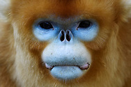 Portrait of a Golden Snub-nosed Monkey, Rhinopithecus roxellana, full frame of the face in in Foping Nature Reserve, Shaanxi, China