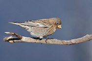 Brown-capped Rosy Finch - Leucosticte australis - Adult female non-breeding