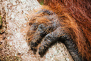 Close-up of orangutan fingers (Pongo pymaeus) holding on to a tree trunck, Tanjung Puting National Park, Central Kalimantan, Borneo, Indonesia