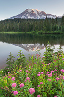 Mount Rainier seen from Reflection Lake, Rosy Spirea (Spirea splendens) is in the foreground. Mount Rainier National Park Washington