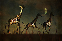 Three giraffes fleeing in the dead of night. A powerful, perhaps ominous moon hangs over their fearful heads. Where are they going? What are they afraid of? There is a sense of urgency this piece that reaches into our hearts from the first moment in which we lay eyes upon it. This is a piece that can prove to be a beautiful addition to not only homes, but to a place of business, as well. The landscape, giraffes, and moon serve to create something powerful. Available across numerous lovely prints, or as an interior décor product for the home. .<br />