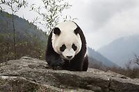 Giant panda, Ailuropoda melanoleuca, walking over rock in the mountains.
