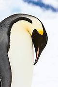An Adult Emperor Penguin (Aptenodytes forsteri) bows its head towards its breast as it prepares to trumpet, Snow Hill Island, Weddell Sea, Antarctica
