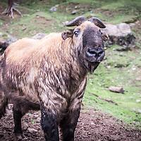 Takin, Thimpu, Bhutan <br /> <br /> Full photoessay at http://xpatmatt.com/photos/bhutan-photos/