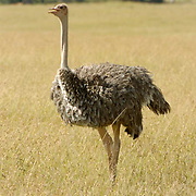 Ostrich (Struthio camelus) Masai Mara National Park. Kenya. Africa.