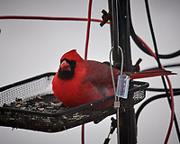 Male Northern Cardinal. Image taken with a Nikon D5 camera and 600 mm f/4 VRII lens