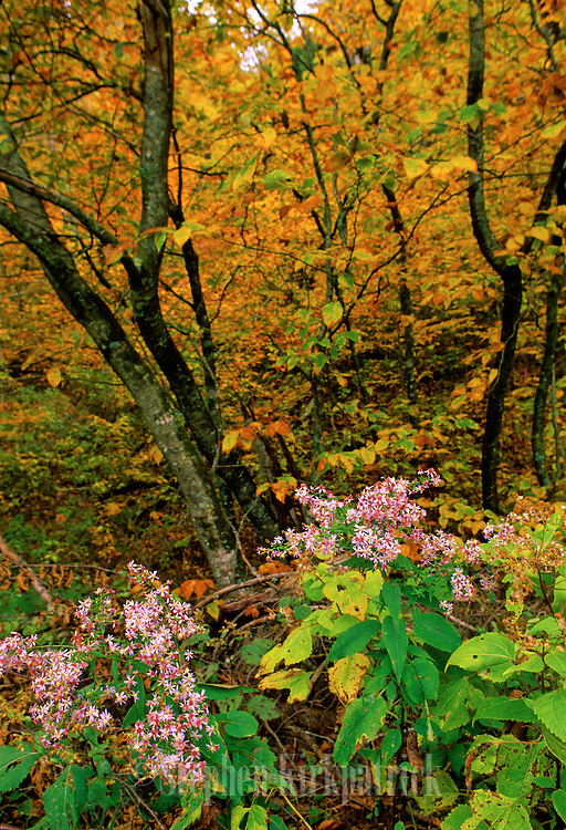 Flowers and fall leaves color the forest in Smoky Mountains N.P.