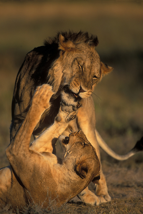 Africa, Kenya, Buffalo Springs National Reserve, Adult Female Lioness (Panthera leo) fights with Male Lion during mating