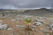 Landschaftsimpressionen mit äthiopischen Schopfbäumen (Lobelia rhynchopetalum)  vom Tullu Demtu (4377 Meter) über das Sanetti Plateau im Bale Mountains Nationalpark im Süden von Äthiopien
