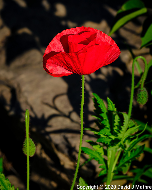 Red Oriental Poppy. Image taken with a Fuji X-T3 camera and 80 mm f/2.8 OIS macro lens (ISO 160, 80 mm, f/5.6, 1/480 sec).