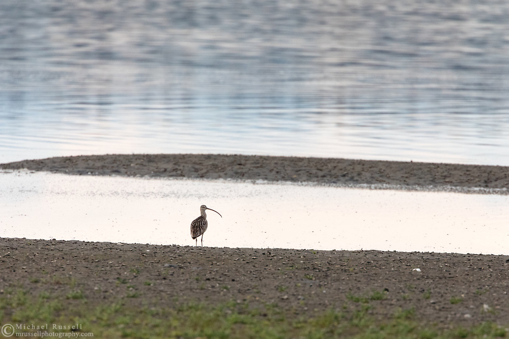 A Long-billed Curlew (Numenius americanus) at Blackie Spit near Crescent Beach in Surrey, British Columbia, Canada. Long-billed Curlew are relatively rare here, but can be seen at Blackie Spit in spring,  late summer, and fall.