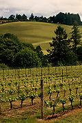 Sass Vineyards in the Willamette Valley, pinot noir vines