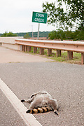 A dead racoon along the road by the Coon Creek Bridge. Missoula Photographer