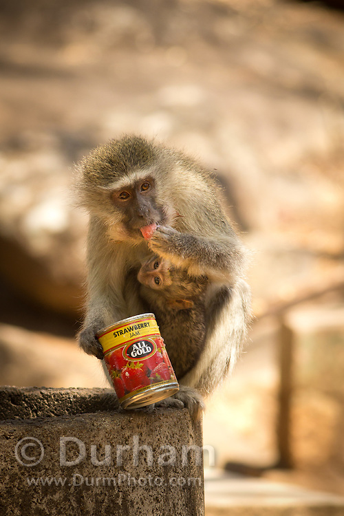 A female vervet monkey (Chlorocebus pygerythrus) with young scavenging trash in Matobo National Park, part of the Motopos Hills area in Zimbabwe. The park is an U.N. UNESCO World Hertiage Site. © Michael Durham / www.DurmPhoto.com