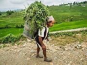 04 AUGUST 2015 - KHOKANA, NEPAL:  A farmer with grass he harvested for his animals in Khokana, Nepal.     PHOTO BY JACK KURTZ