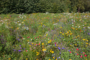 Wild sown flowers in a special meadow in Dulwich Park, south London. The wide landscape of blooming species have been sown in this corner of the public space in south London. It is towards the end of summer but the colours are still vibrant, making this an almost perfect seasonal scene of idyllic peace and beauty. In the background are more native tree species that have bveen in place many more years.