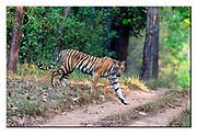 Female Bengal tiger. Kanha National Park, India.  Nikon D4, 200-400mm @ 400mm, f4, 1/500sec, ISO1000, Aperture priority