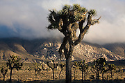Joshua Tree (Yucca brevifolia) at sunset in Joshua Tree National Park, California.
