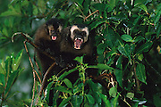 Brown Capuchin Monkeys<br /> Cebus apella<br /> Manu Cloud Forest. PERU.  South America