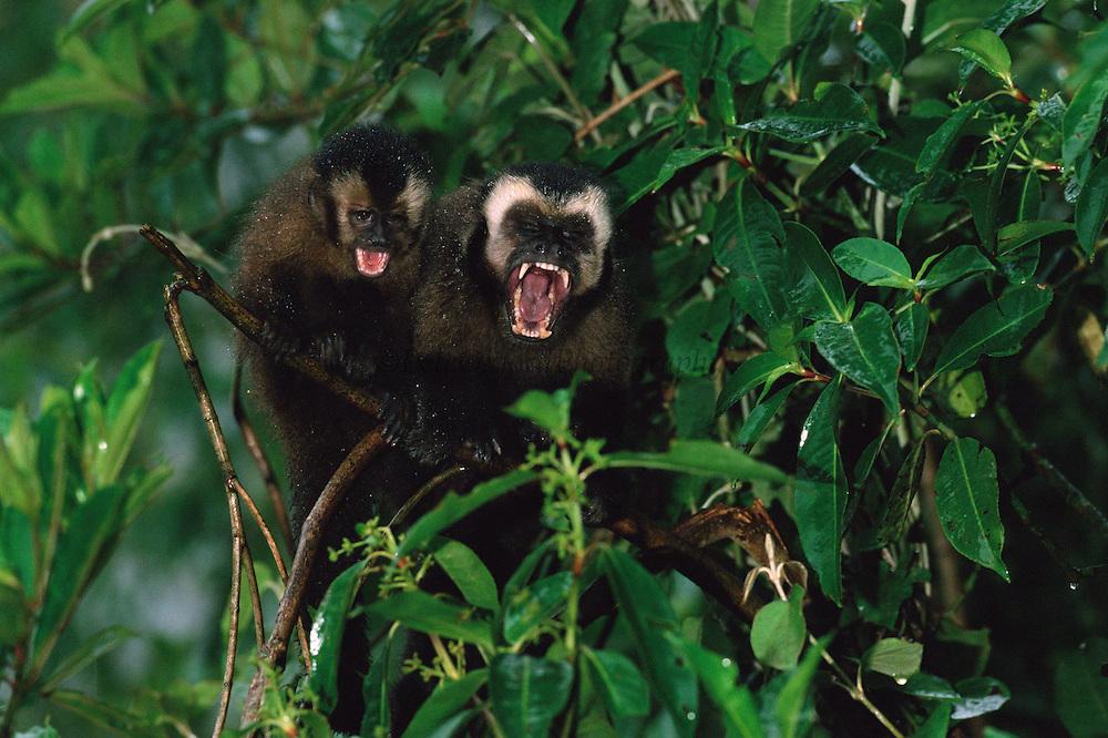Brown Capuchin Monkeys<br /> Cebus apella<br /> Manu Cloud Forest. PERU.  South America