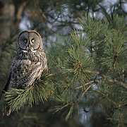 Great Gray Owl adult. Canada