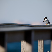 A belted kingfisher sitting on a railing at Sandy Hook National Park New Jersey