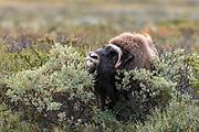 Male muskox (Ovibos moschatus) feeding on Salix at Dovrefjell, Norway.