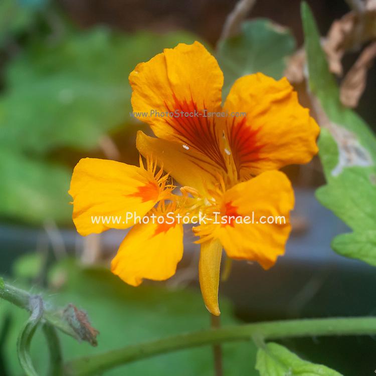 Flowering Tropaeolum majus (garden nasturtium, Indian cress or monks cress) with a ladybird beetle (Coccinellidae) larva