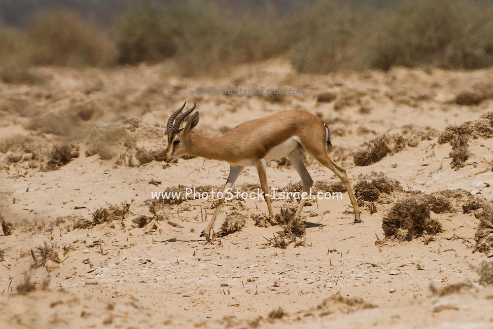 Dorcas Gazelle (Gazella dorcas), also known as the Ariel Gazelle Photographed in the Negev Desert, Israel