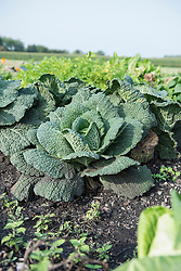 Cabbage plant garden vegetable harvest field