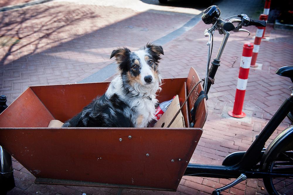 Nederland, Amsterdam, 22 april 2013. Westelijke Eilanden, Vierwindenstraat.  Hond in de bak van een bakfiets.Foto(c): Michiel Wijnbergh