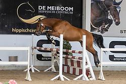008, Winnetou MLH<br /> Hengstenkeuring Brp- Azelhof - Lier  2021<br /> © Hippo Foto - Dirk Caremans<br /> 14/04/2021