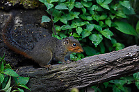 Asian Red-cheeked Squirrel, Drymomus rufigenis, feeding on insects while sitting on a tree trunk in Baihualing, Gaoligongshan, Yunnan, China