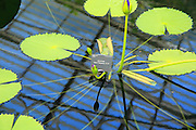 Amazon waterlily  Nymphaea floating leaves, Water Lily House, Royal Botanic Gardens, Kew, London, England, UK